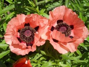 poppy pair