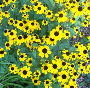 Brown-eyed Susans small