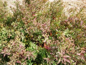 Gold flame spirea small