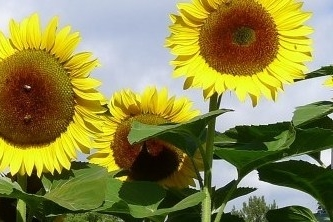cropped-sunflowers3.jpg