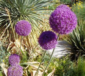 Giant Alliums courtesy of Jodi Torpey, WesternGardeners.com