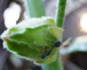 Hollyhock weevil