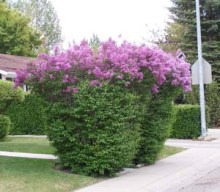 Lilacs which were side pruned too late in the season. Photo from CSU CO Master Gardener Garden Notes #616