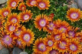 Delosperma_2_David_Winger