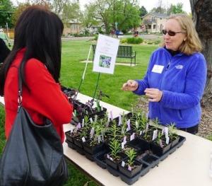 Denver Master Gardener apprentice Susan Hoopfer offers advice for planting Milkweed (Asclepias) to a gardener interested in attracting Monarch butterflies to her garden.