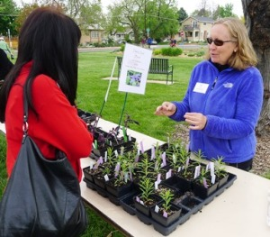 Denver Master Gardener apprentice Susan Hoopfer offers advice for planting Milkweed (Asclepias) to a gardener interested in attracting Monarch butterflies to her garden.