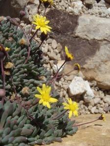 little-pickles-plant-othonna-capensis