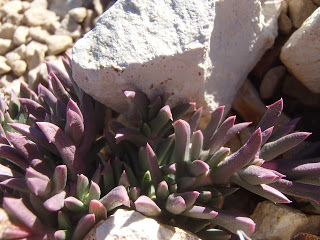 ruschia-pulvinaris-mat-shrubby-iceplant-in-winter