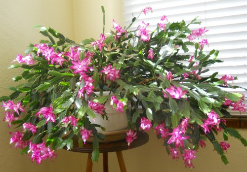 How To Care For Christmas Cactus.Christmas Cactus Care Denvergardeners