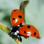 ladybug-55056_1280