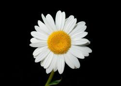 oxeye-daisy-538024_1280