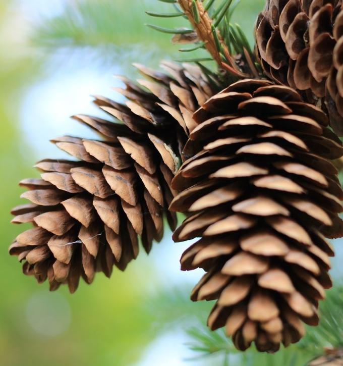 pinecones-287569_1280