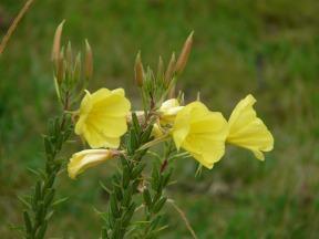 primrose-59902_1280