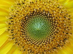 sunflower-917920_1280