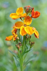 wallflower-2006127_1280