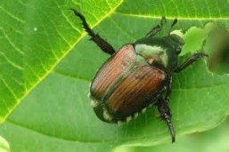 The Japanese Beetle - pretty to look at but oh so destructive!