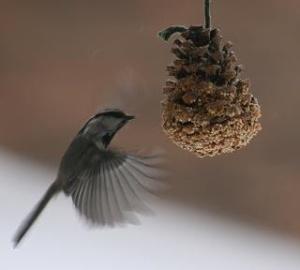 pineconebirdfeeder-1