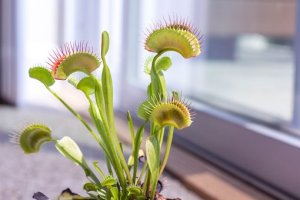 venus-fly-trap-2403031__340