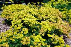 "Eriogonum umbellatum ""Kannah Creek"" buckwheat"