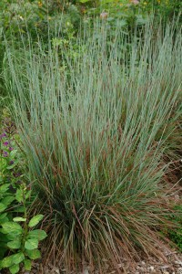 "Schizachyrium scoparian ""Little Bluestem"""