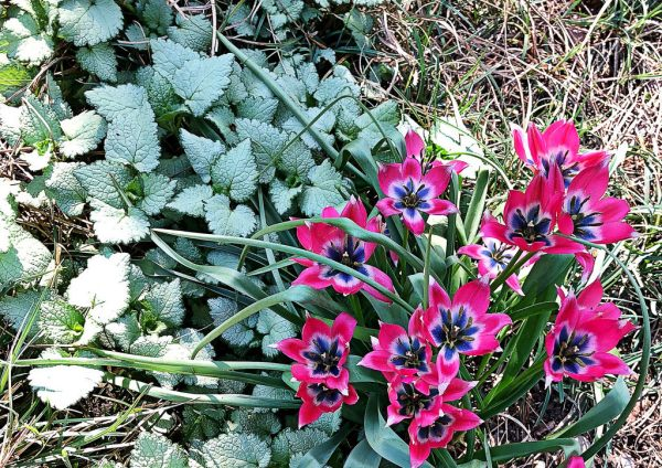 species tulip_google