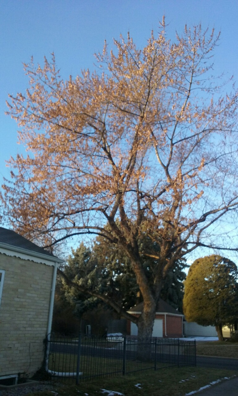 Trees Shed Last Of Their Leaves And We >> Why Leaves Linger Denvergardeners