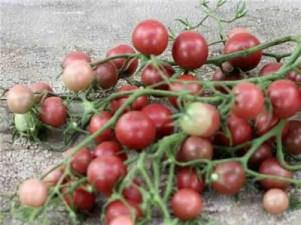 'Chocolate Cherry' Rareseeds.com
