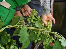 hop-vines-2674704_1920