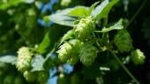 hop-vines-409870_1920