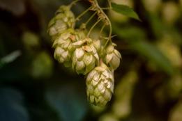 hops-3705742_1920