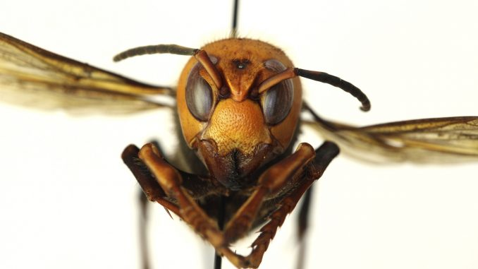 murder-hornets-with-sting-that-can-kill-land-in-us